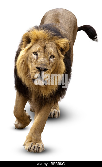 The Lion (Panthera leo) in front of white background, isolated. - Stock Image
