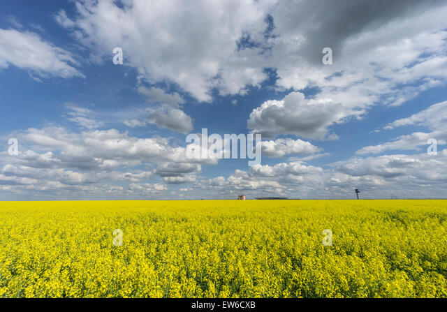 Blooming Cornfield in Front of BER Airport , Clouds, Berlin Schoenefeld - Stock Image
