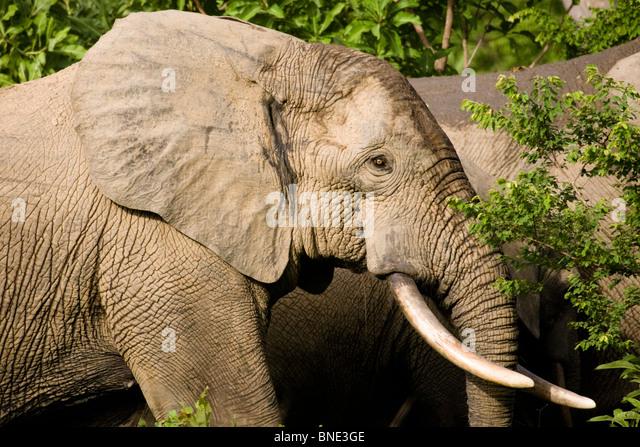Savannah Elephant, Loxodonta africana, in Mole National Park, Ghana. - Stock Image