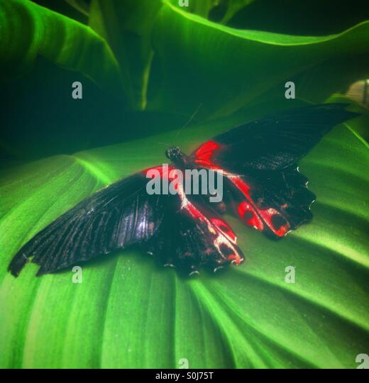 Black and red butterfly, on a green leaf. - Stock Image