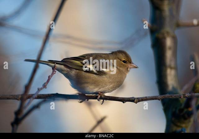 Female chaffinch. - Stock Image
