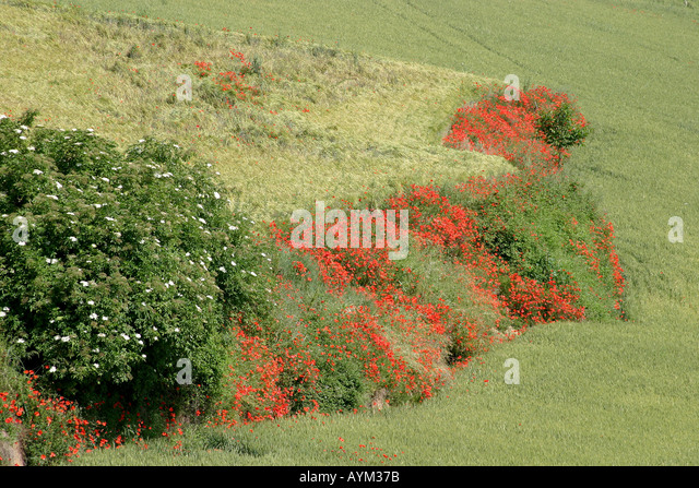 Bank of poppies Le Marche Italy - Stock Image