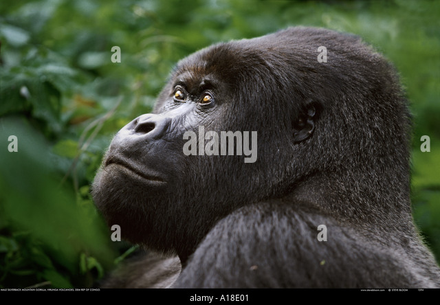 Mountain gorilla Mgahinga National Park Uganda - Stock Image