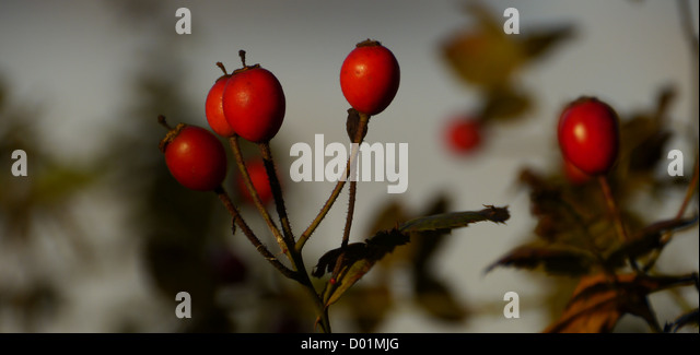 Rosehips twigs and leaves in autumn (the fall) - Stock Image