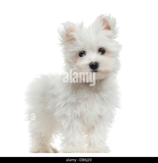 maltese haircuts styles pictures maltese pup stock photos amp maltese pup stock images alamy 1195