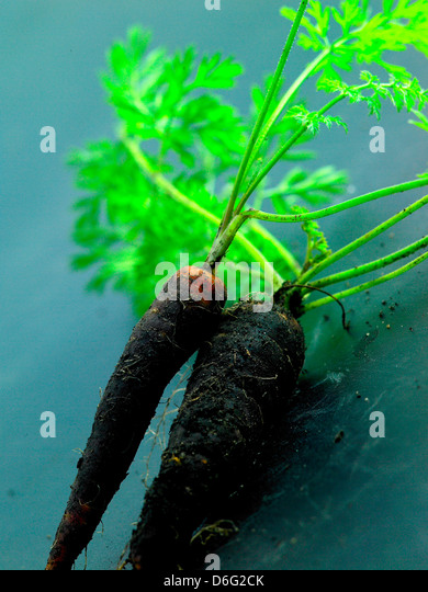 Organic blood carrots - Stock Image