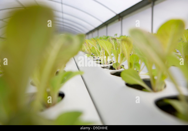 Lettuce leaves growing in nursery - Stock Image
