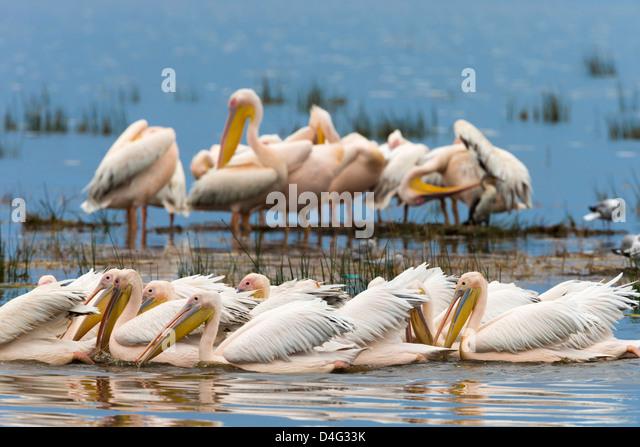 Great white pelicans (Pelecanus onocrotalus), Lake Nakuru National Park, Kenya, September 2012 - Stock Image