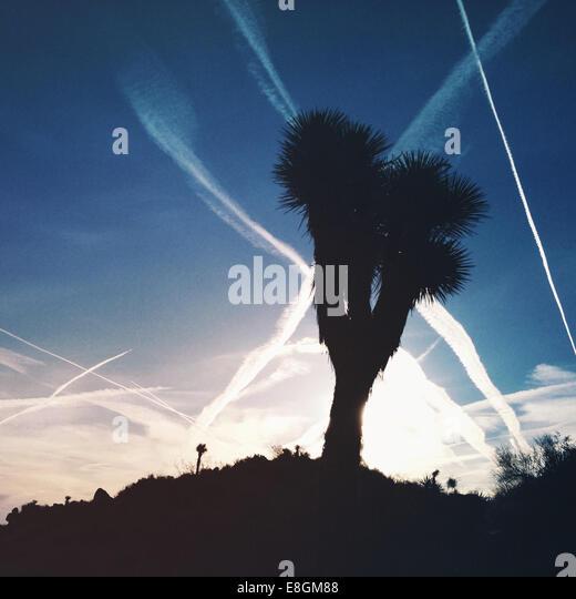 Silhouette of Joshua Tree, Joshua Tree National Park, California, America, USA - Stock Image