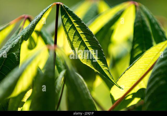 Backlit Leaf Patterns - North Carolina Arboretum, Asheville, North Carolina, USA - Stock Image