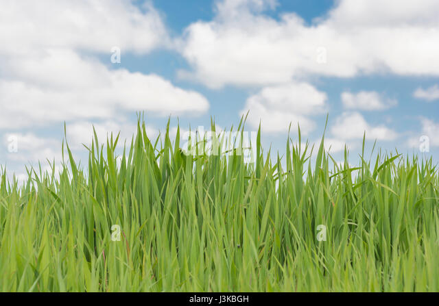 Fresh green grass against the sky - metaphor for many 'grass' sayings - like 'Don't Let the Grass Grow - Stock Image