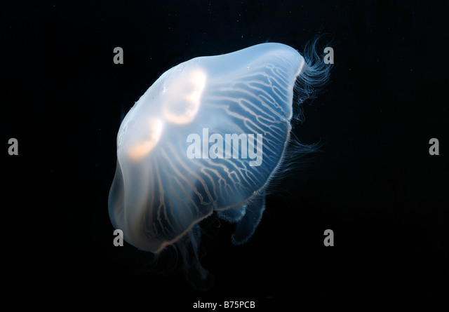 Moon jellyfish Aurelia aurita captive - Stock Image