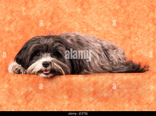 silky terrier haircut reinrassige stock photos amp reinrassige stock images alamy 3327