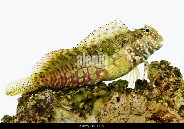 Rock Blenny Salarias fasciatus Also known as Lawnmower Blenny Jeweled Rockskipper and Jeweled Blenny Tropical marine - Stock Image