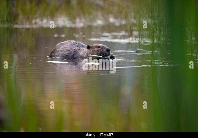A beaver feeding in a pond nr Whitefish Falls, Sudbury District, Ontario, Canada - Stock-Bilder