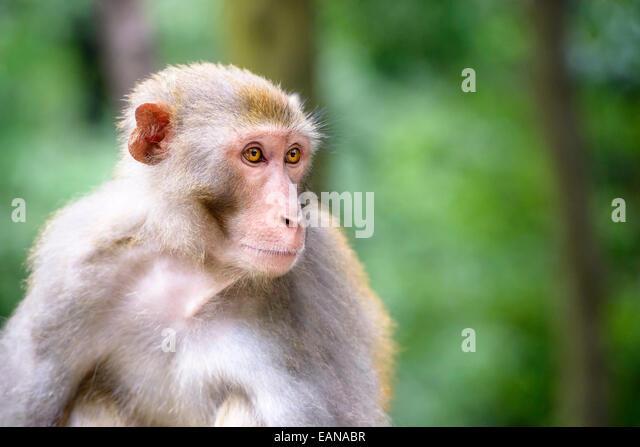 Macaque at Qianling Hill Park in Guiyang, China. - Stock Image