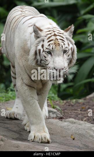 White Bengal Cat Singapore