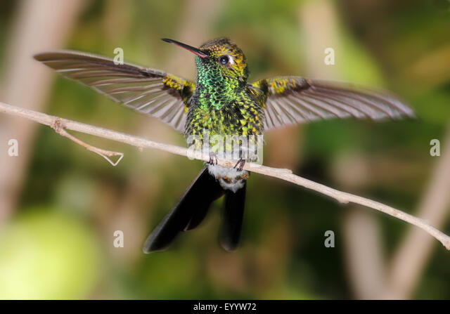 Cuban emerald (Chlorostilbon ricordii), bird is sitting on a branch spreading its wings, Cuba - Stock Image