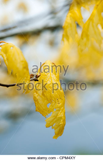 Quercus Rubra Aurea. Golden Northern red oak tree - Stock Image