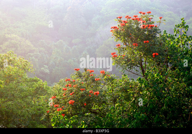 African Tulip tree Kauai Hawaii - Stock-Bilder