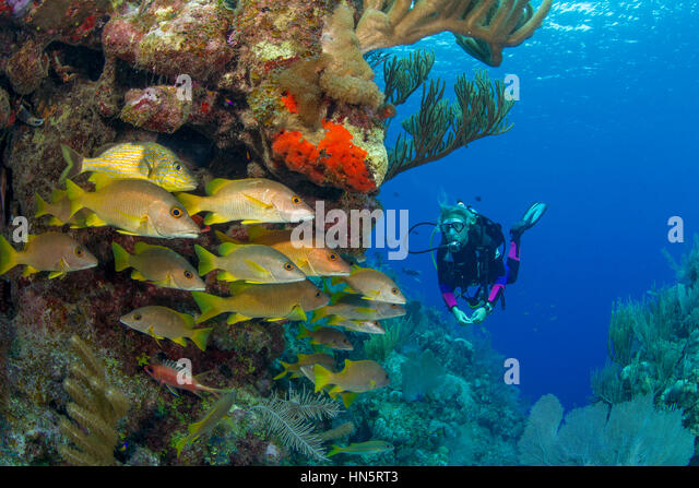 Scuba diver viewing school of snapper on a coral reef. - Stock-Bilder