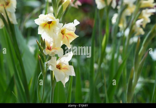 Gladiolus nanus 'Halley'.Nanus Gladioli flower - Stock Image