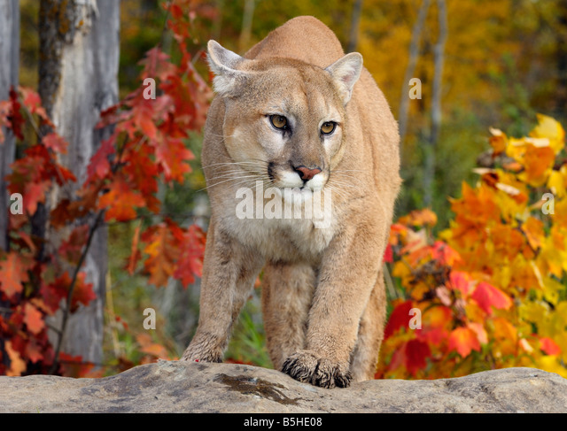 oak creek cougar women The arizona mountain lion has a wide and diverse habitat including high elevation forests, rimrock canyons and mountainous desert areas the mountain lion is also called cougar and puma.