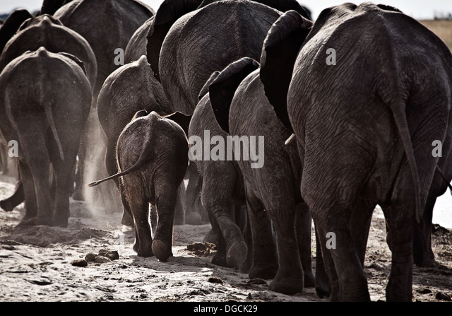Elephants walk off along a river bank. - Stock Image