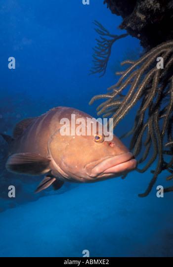 Underwater giant grouper fish marine life coral reef caribbean florida bahamas - Stock Image