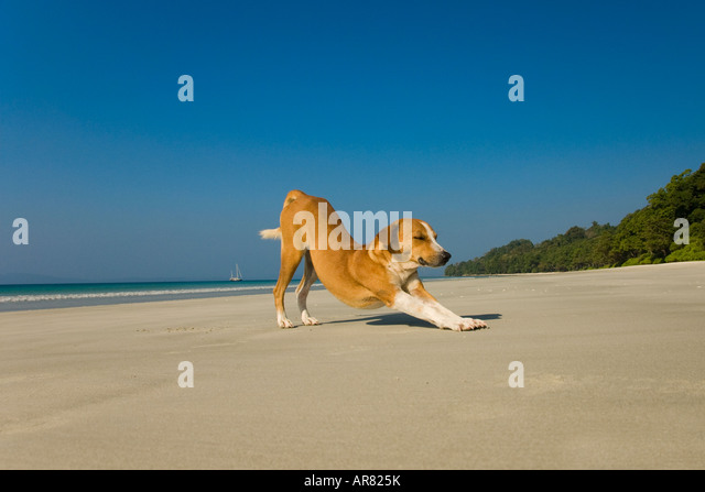 A dog stretching on a beach - Stock Image