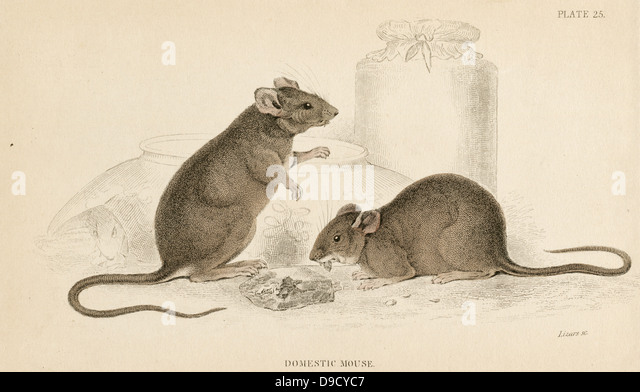 House Mouse - Mus musculus: Small rodent. Hand-coloured engraving from A History of British Quadrupeds,  Edinburgh, - Stock Image