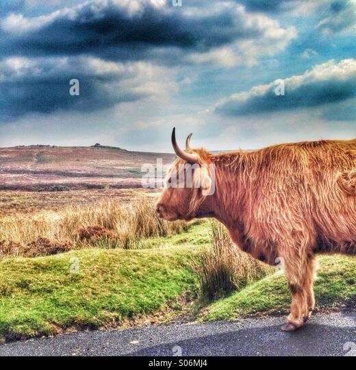 Highland cow on Dartmoor - Stock Image
