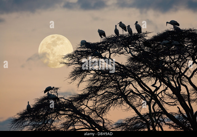 Acacia tree with white European storks at sunset.Northern Kenya - Stock-Bilder