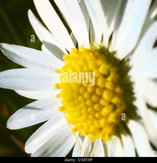 Daisy on macro - Stock Image