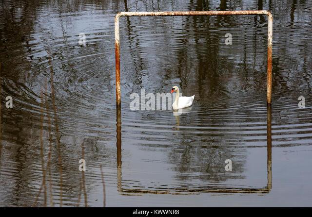 Mute Swan (Cygnus olor) on a flooded football pitch, Mülheim an der Ruhr, Germany - Stock Image