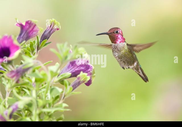 Anna's Hummingbird in Petunia x hybrida 'Pretty Much Picasso' - Stock-Bilder
