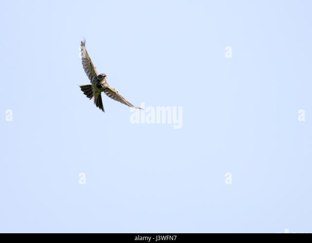 A Skylark (Alauda arvensis) in flight, Pembrokeshire - Stock Image