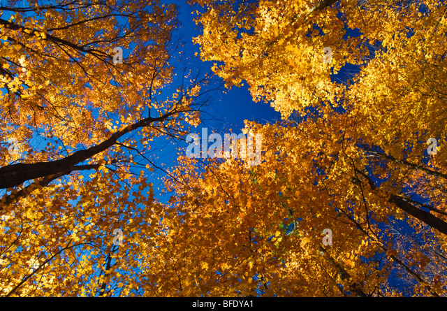 Low angle view of sugar maples (Acer saccharum) in autumn colors, Parry Sound, Ontario, Canada - Stock Image