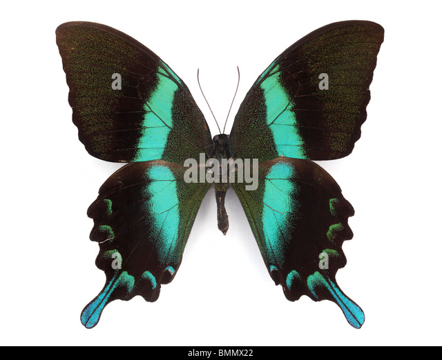 Closeup of beautiful butterfly on white background - Stock Image