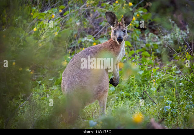 Wallaroo (Macropus robustus) - Stock-Bilder