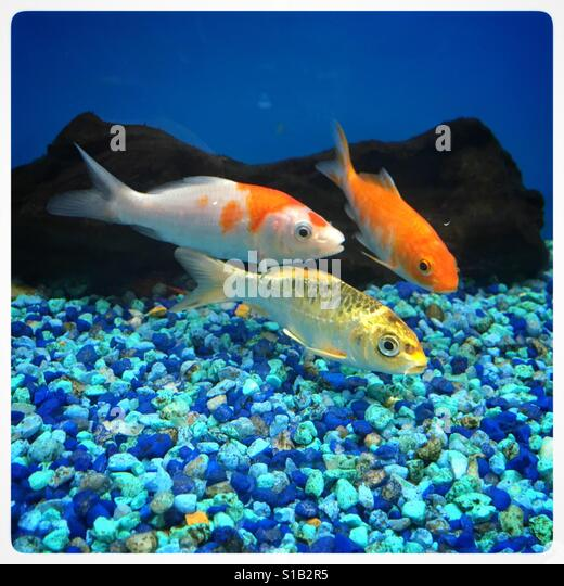 Koi aquarium stock photos koi aquarium stock images alamy for Coy fish aquarium