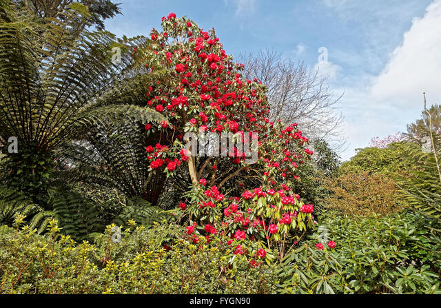 Red rhododendron and tree fern set against blue sky - Stock Image
