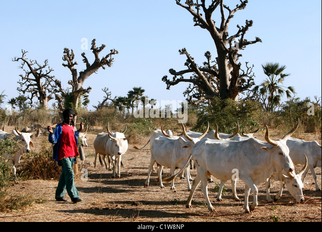 Herdsman with cattle in Senegal - Stock Image