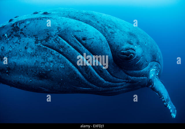 Curious female humpback whale, closeup, Roca Partida, Revillagigedo, Mexico - Stock Image