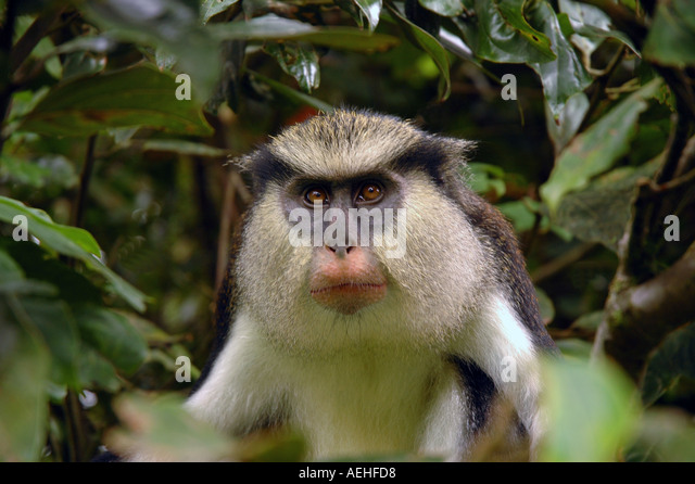 Grenada Caribbean Mona Monkey Grand Etang National  Park rain forest - Stock Image