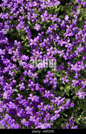 Aubretia Flowers Stock Photos Amp Aubretia Flowers Stock