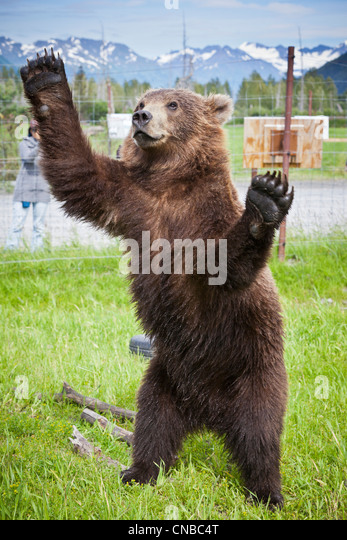 CAPTIVE: Male Kodiak Brown bear 20-month-old cub stands on hind feed with its arms outstretched, Southcentral Alaska, - Stock Image