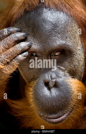 Portrait of young male orangutan, Gunung Leuser National Park, Sumatra, Indonesia. - Stock Image