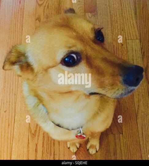 Dog on hardwood floor - Stock Image