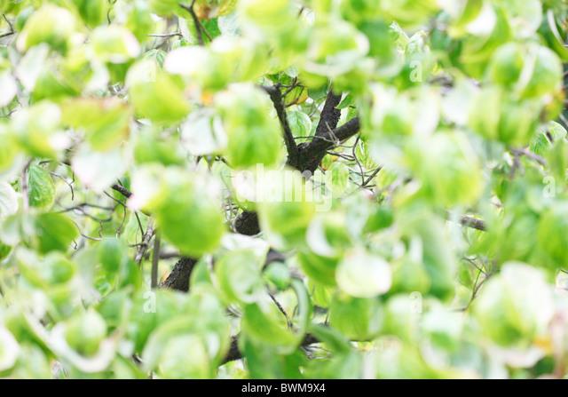 beautiful flowering dogwood tree - fine art photography Jane-Ann Butler Photography JABP918 - Stock Image